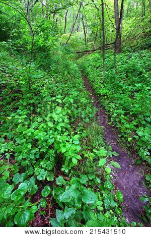 Narrow trail cuts through dense understory vegetation at Mississippi Palisades State Park in Illinois
