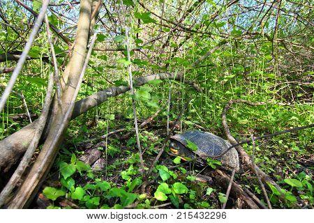 Blandings Turtle (Emydoidea blandingii) resting on land in northern Illinois