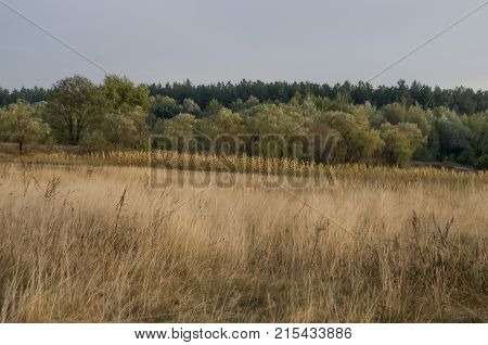 Сornfield in the early autumn. Dry plants around. Green trees far away. Morning