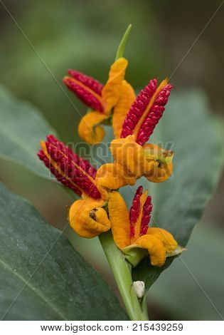 yellow and red forms of hedychium spec plant closeup