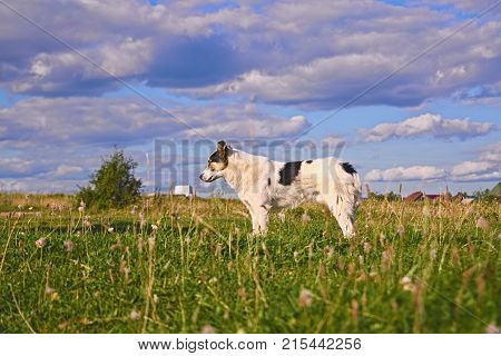 A Dog Mongrel Walks In A Meadow