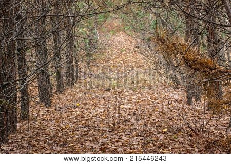 A bright autumn path with fallen leaves behind a natural arch of spruce trees with thin sharp branches is light and beautiful