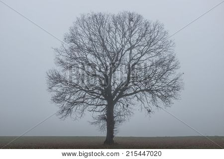 A solitary Tree in the country with the fog