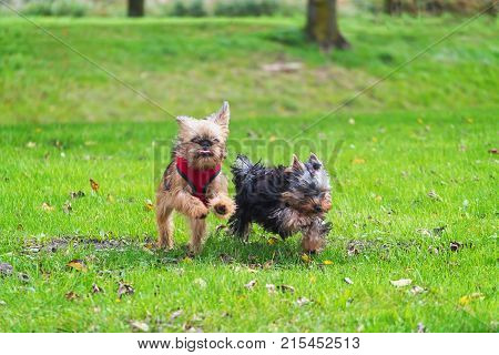 Yorkie and Brussels Griffon at full speed