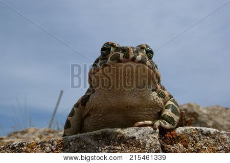 Toad (Bufo viridis). A frog on a rock with lichens