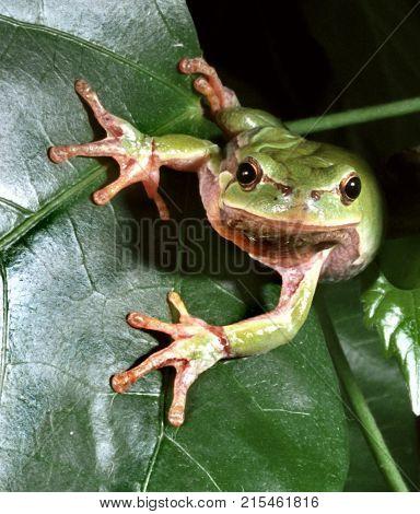 Tree frog on green leaf, vert beautiful