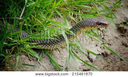The Caspian whipsnake (Dolichophis caspius sometimes also Coluber caspius) also known as the large whipsnake