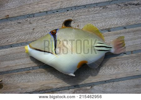 Beautiful tropical fish from the Red Sea which are caught on bait. Arabian Picasso triggerfish