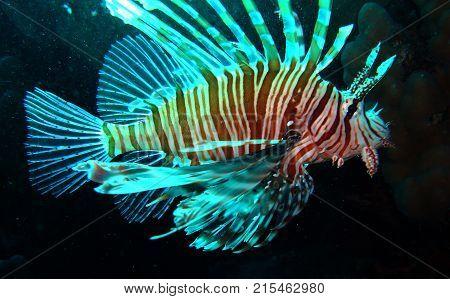Devil firefish (Pterois miles) swim in water