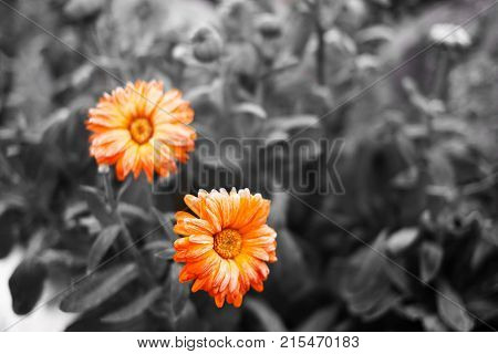 orange calendula on bw field concept of positive in the gray world