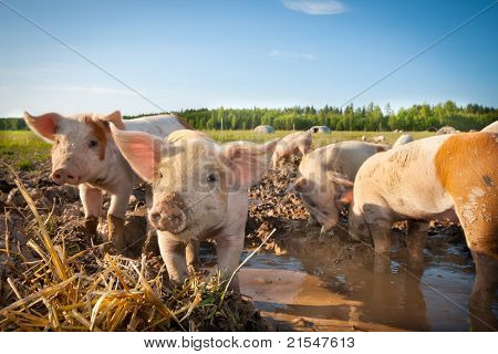 Many cute pigs on a pigfarm a sunny day poster