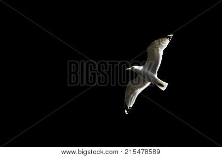Flying Seagull isolated on black. Sea gull close. Free wild bird spreads his wings in flight.