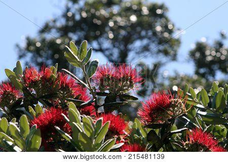 Beautiful red Pohutukawa flowers, New Zealand's Christmas tree.