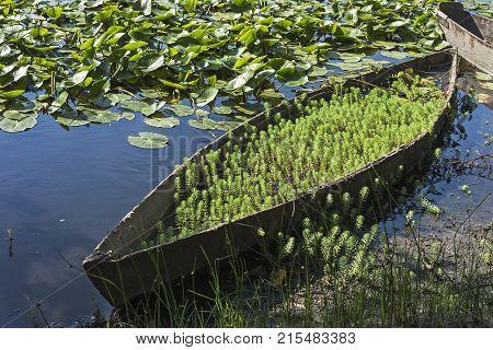 Wooden flat bottom boats moored at the lagoon margin of Pateira de Fermentelos near Aveiro Portugal