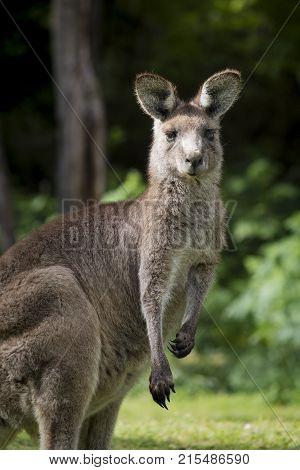 Australian Eastern Grey Kangaroo Macropus Giganteus, staring at camera, at Wombeyan Karst Conservation Reserve