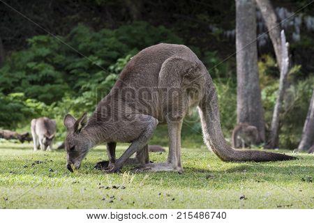 Australian Eastern Grey Kangaroo Macropus Giganteus, grazing on grass, at Wombeyan Caves