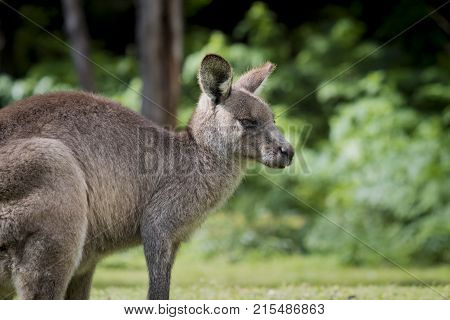 Australian Eastern Grey Kangaroo Macropus Giganteus, facing right, at Wombeyan Caves
