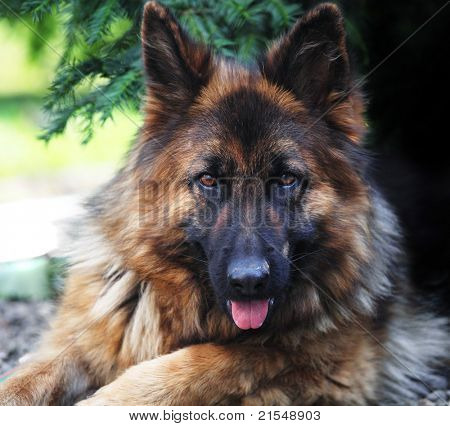 fine portrait of young german sheppard long fur