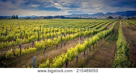 Vineyard Marlborough Area New Zealand