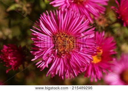 New England Aster (symphyotrichum Novae Angliae)