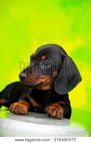 dachshund dog puppy with sports disk
