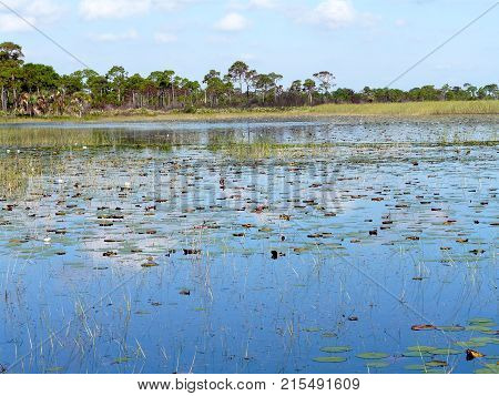 Lily pads and other marsh vegetation in Savannas Preserve State Park which preserves freshwater marshes or savannas along Florida's east coast.
