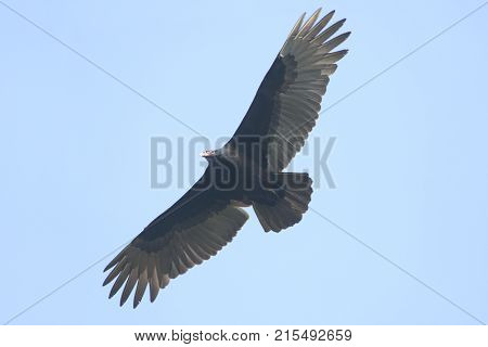 Turkey Vulture (Cathartes aura) in flight against a blue sky