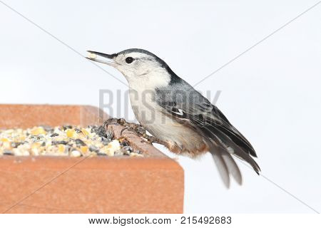 White-breasted Nuthatch (sitta carolinensis) on a feeder with a white background