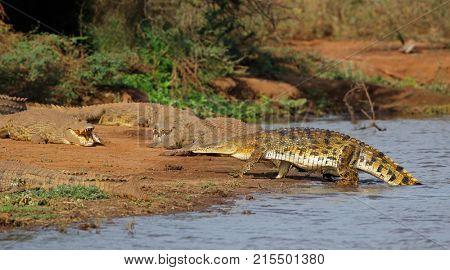 Nile crocodiles (Crocodylus niloticus) basking, Kruger National Park, South Africa