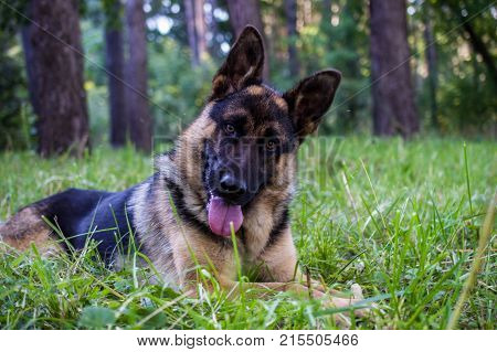 Young german shepherd sitting on the grass the park