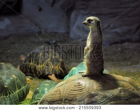 Cute meerkat standing on the shell of a turtle. The dark background