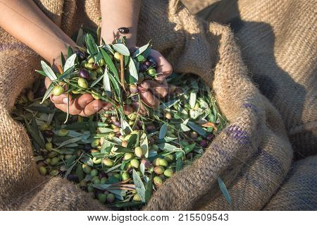 Child keeps some of the harvested fresh olives in a field in Crete, Greece for olive oil production.