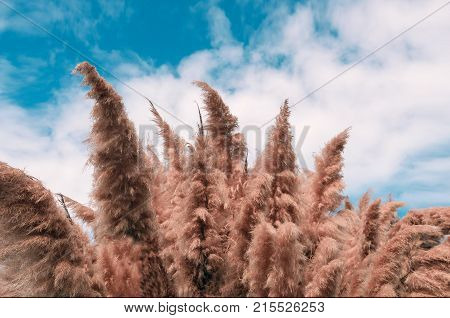 Cortaderia selloana commonly known as pampas grass growing in Tenerife Spain. Beautiful large background for  web design. Space for text