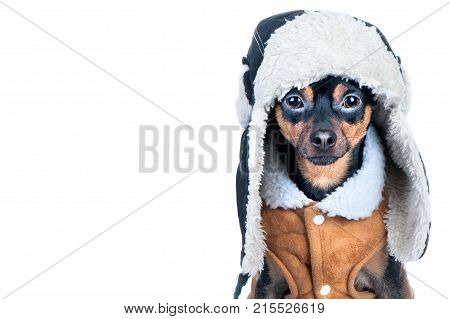 Dog in Winter clothes isolated space for text. That terrier in a hat with a fur hat and a sheepskin coat. Winter theme cold dog clothes christmas new year dog year