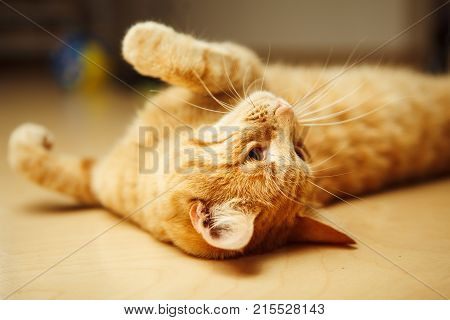 Cute red cat laying on his back at floor and looking at top. Fluffy domestic pet having rest. Adorable feline animal in careless position