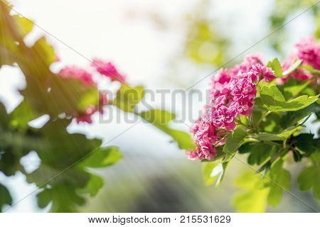 Beautiful Pink Hawthorn Blossom