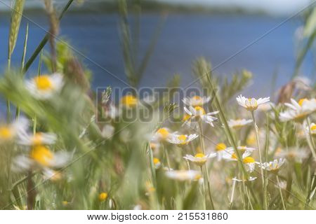 Wild Daisies At The River Bank
