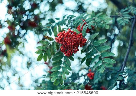 Ripe berries of mountain ash, grow on tree, autumn red berries, close-up, vintage style park.
