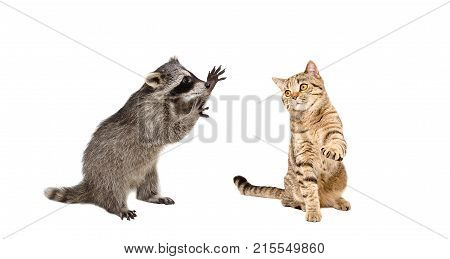 Funny  raccoon and  playing cat Scottish Straight, isolated on white background