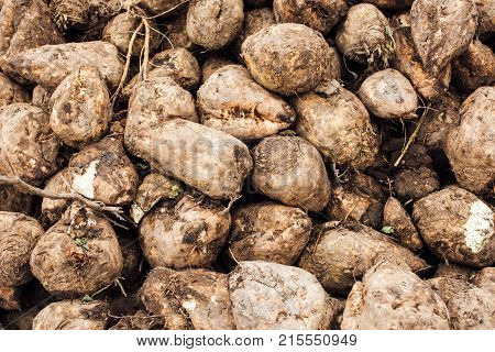 Sugar beet harvest. Pile of harvested agricultural root crop in the field. Selective focus.