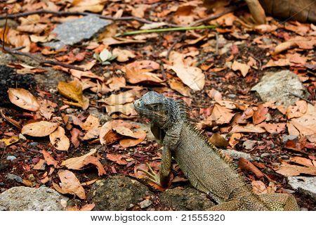 A female Green Iguana