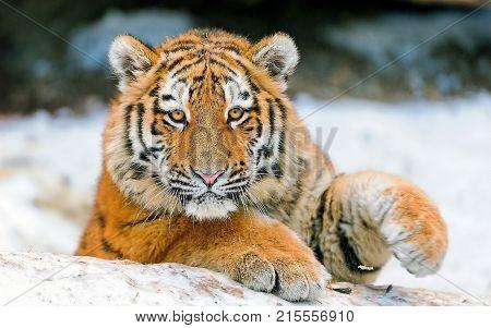 bangle tiger sit in a snow season