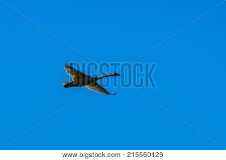 Trumpeter Swan in flight against clear blue sky over Skagit Valley WA