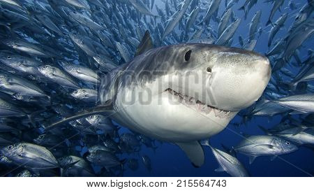 shark with many fish and want to eat fish