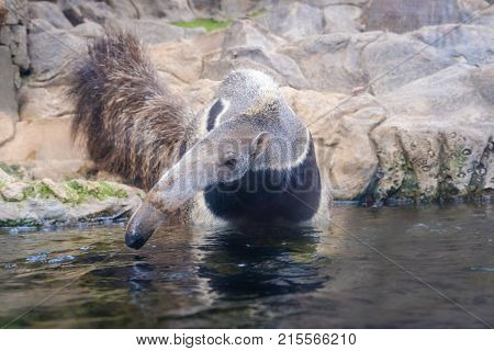 Anteater (myrmecophaga Tridactyla), Also Known As The Ant Bear. Wildlife Animal