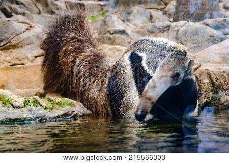 Anteater / Ant Bear In Water , Wildlife Animal