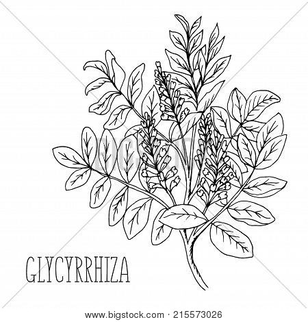 Doodle plants Licorice is a medicinal plant, the drawn contour