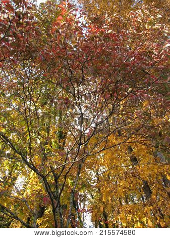 Hickory and Dogwood trees in Autumn time.
