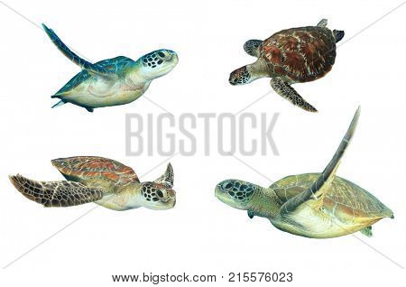 Sea Turtles isolated on white background