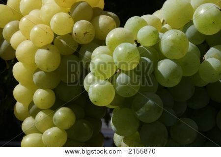 Bunch Of Mature Grapes 2